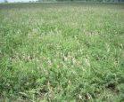 бобовые кормовые травы