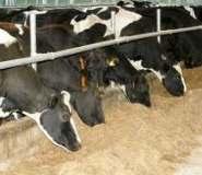 коровы в сарае