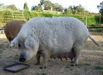 порода свиней мангалица