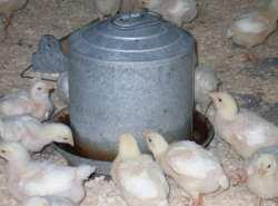 поилка для домашней птицы и молодняка