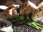 Рацион домашнего кролика