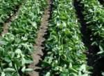 Подготовка почвы — важный этап производства сои